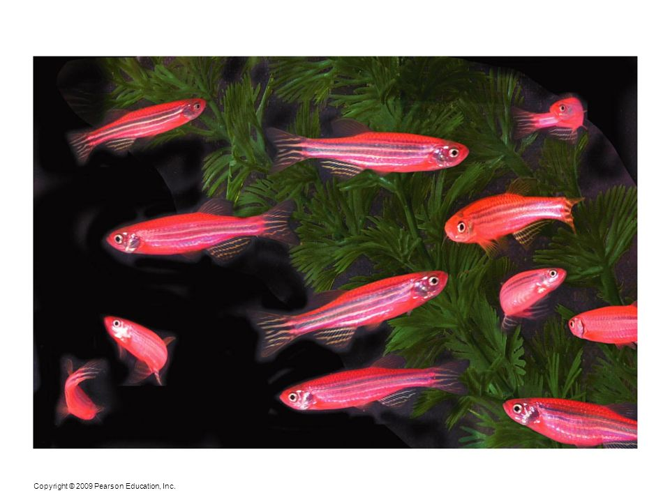 Figure 24-10 GloFish, marketed as the world's first GM-pet, are a controversial product of genetic engineering.