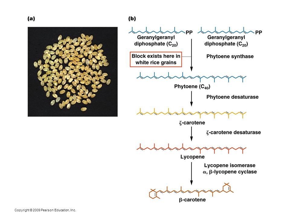 Figure 24-7 (a) Golden rice, a str ain genetically modified to produce  -carotene, a precursor to vitamin A.