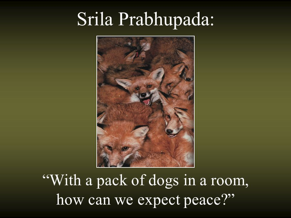 With a pack of dogs in a room, how can we expect peace