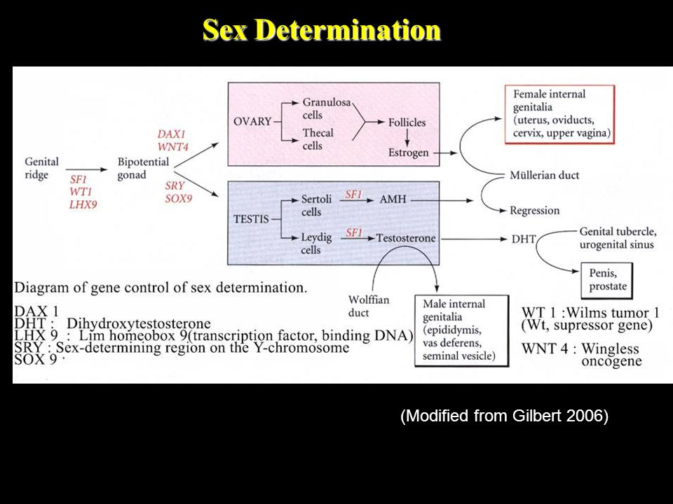 Sex Determination (Modified from Gilbert 2006)