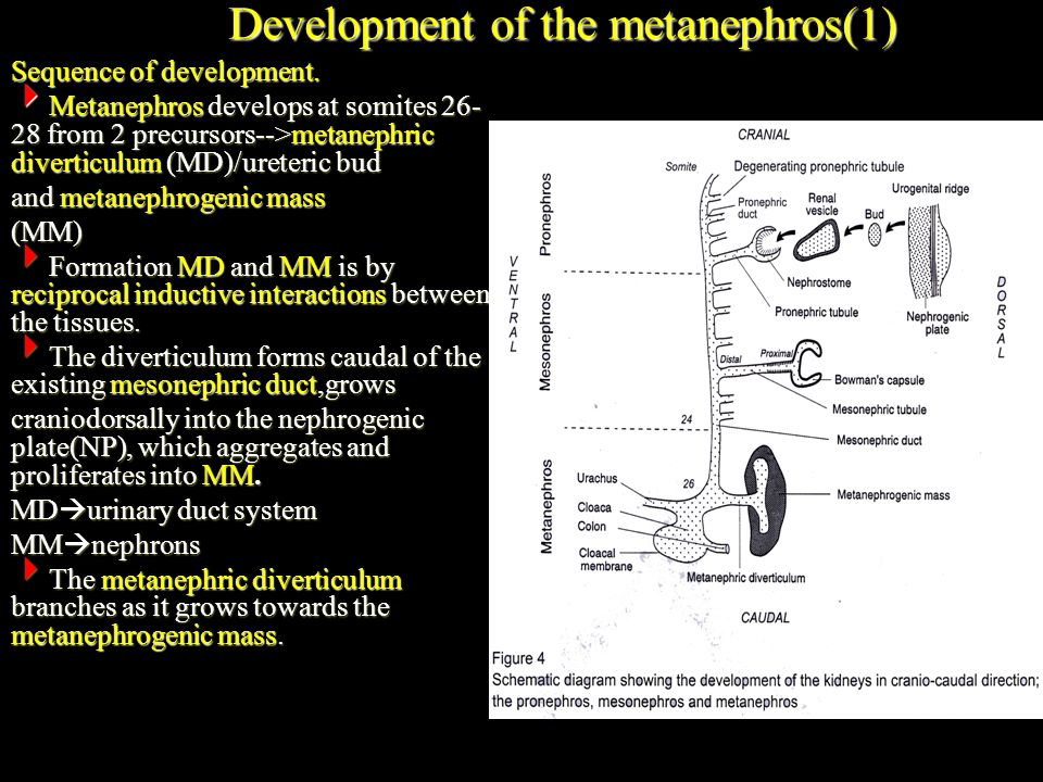 Development of the metanephros(1)
