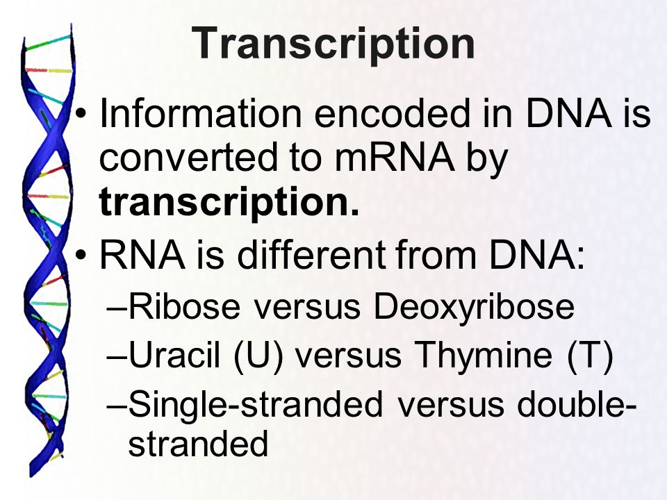 Transcription Information encoded in DNA is converted to mRNA by transcription. RNA is different from DNA: