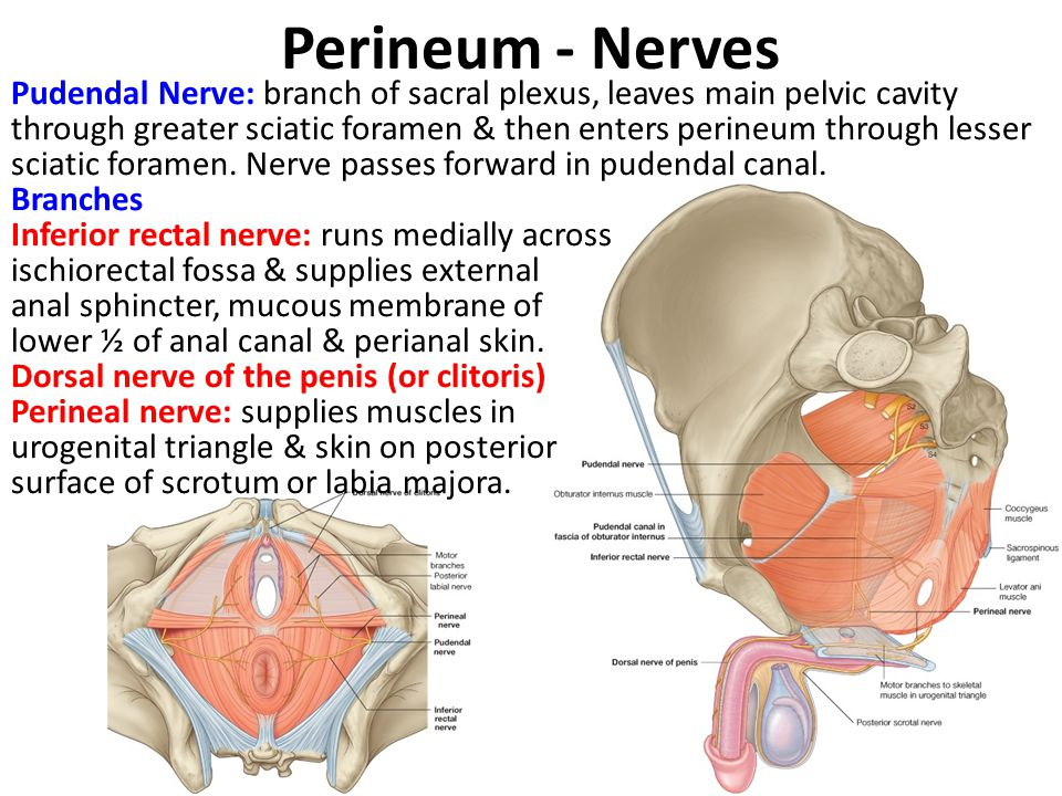 Perineum - Nerves