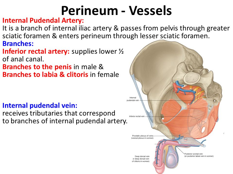 Perineum - Vessels