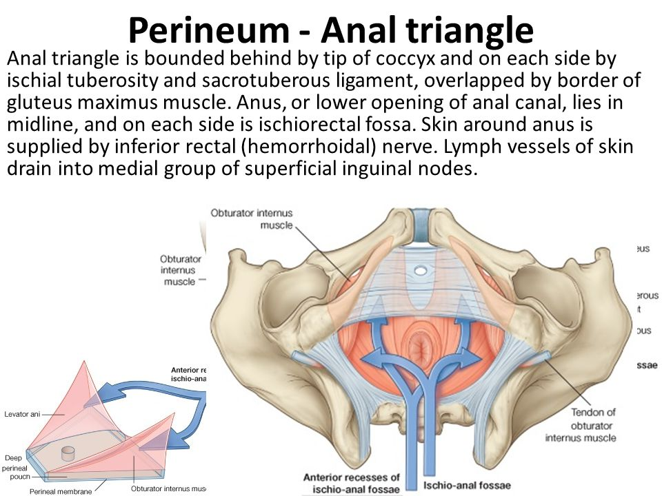 Perineum - Anal triangle