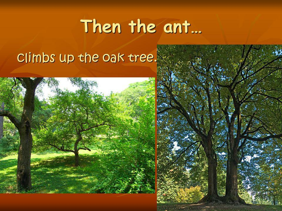 Then the ant… climbs up the oak tree.