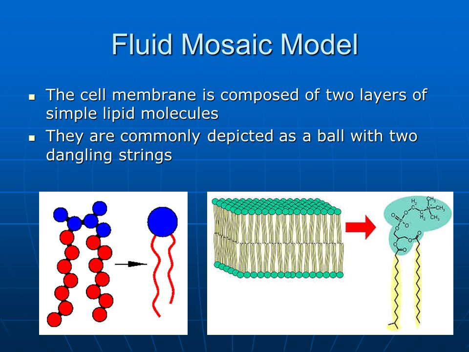 Fluid Mosaic Model The cell membrane is composed of two layers of simple lipid molecules.