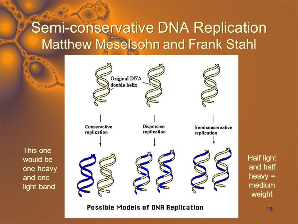 Semi-conservative DNA Replication Matthew Meselsohn and Frank Stahl