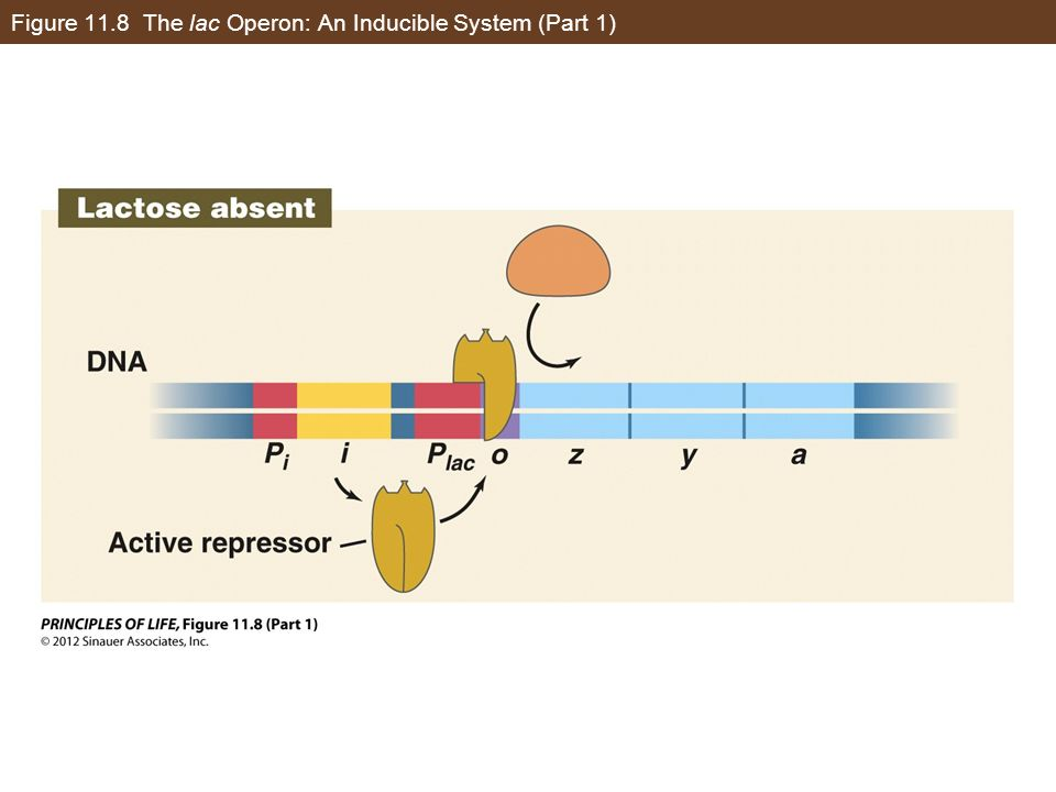 Figure 11.8 The lac Operon: An Inducible System (Part 1)