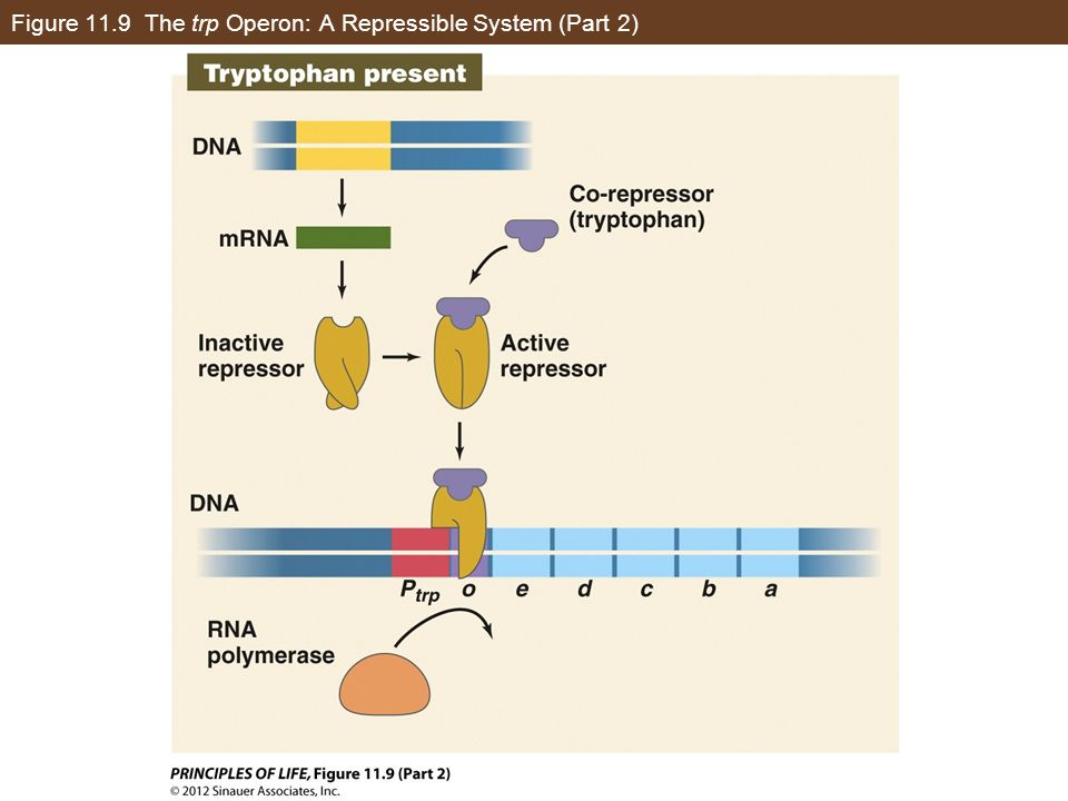 Figure 11.9 The trp Operon: A Repressible System (Part 2)