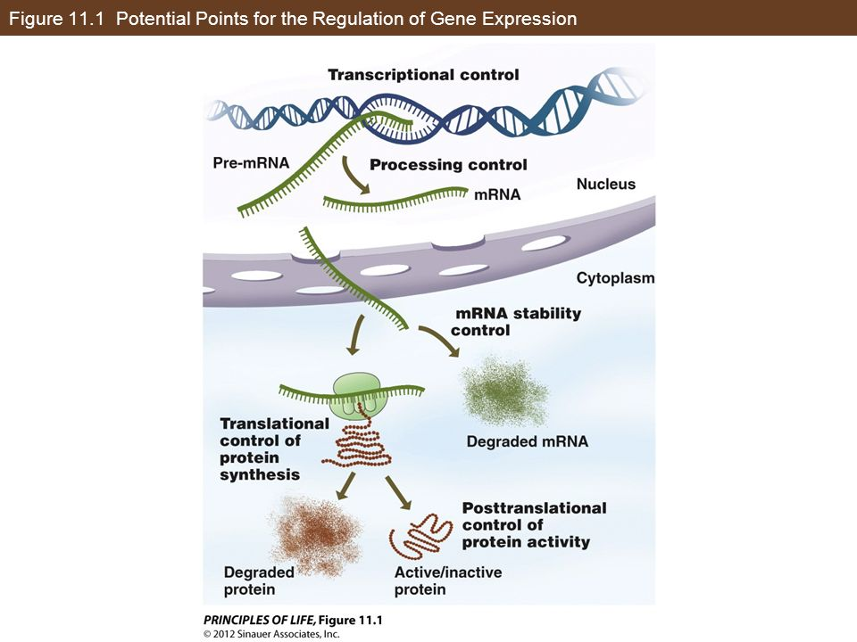 Figure 11.1 Potential Points for the Regulation of Gene Expression
