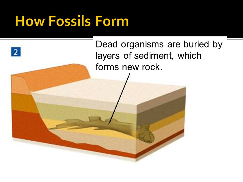 How Fossils Form Dead organisms are buried by layers of sediment, which forms new rock.