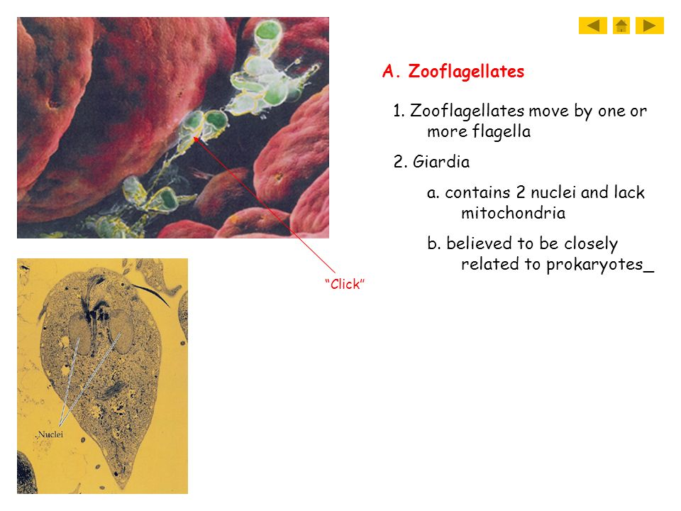 1. Zooflagellates move by one or more flagella 2. Giardia