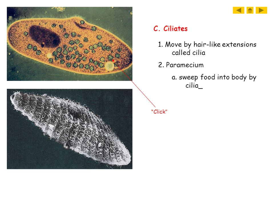1. Move by hair-like extensions called cilia 2. Paramecium