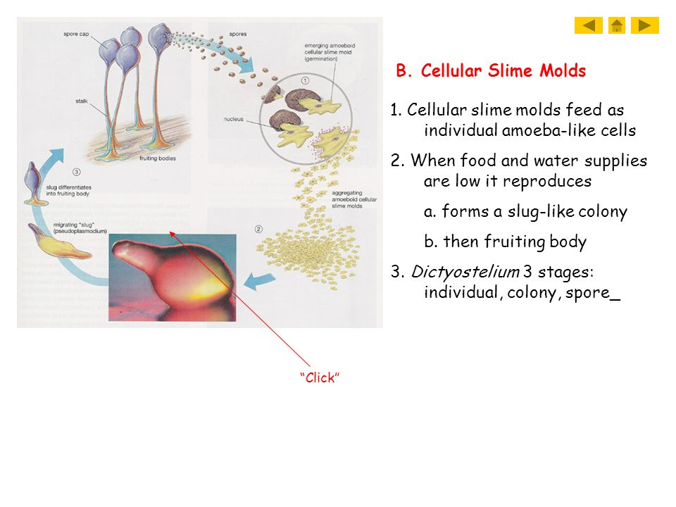 1. Cellular slime molds feed as individual amoeba-like cells