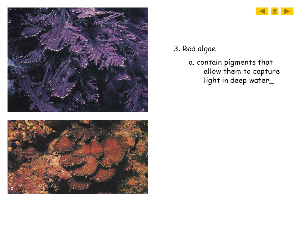 3. Red algae a. contain pigments that allow them to capture light in deep water_