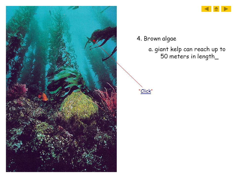 a. giant kelp can reach up to 50 meters in length_