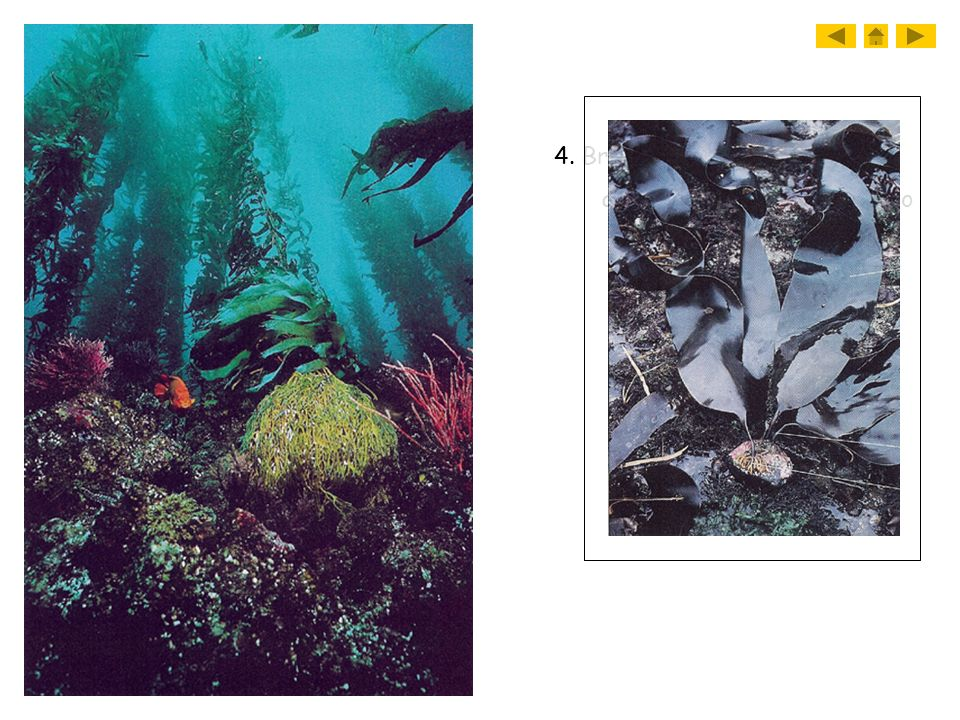 4. Brown algae a. giant kelp can reach up to 50 meters in length