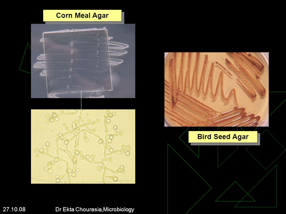 Corn Meal Agar Bird Seed Agar
