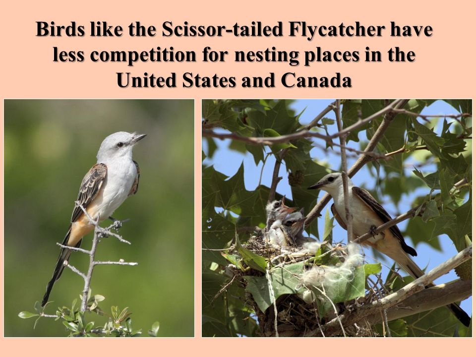Birds like the Scissor-tailed Flycatcher have less competition for nesting places in the United States and Canada