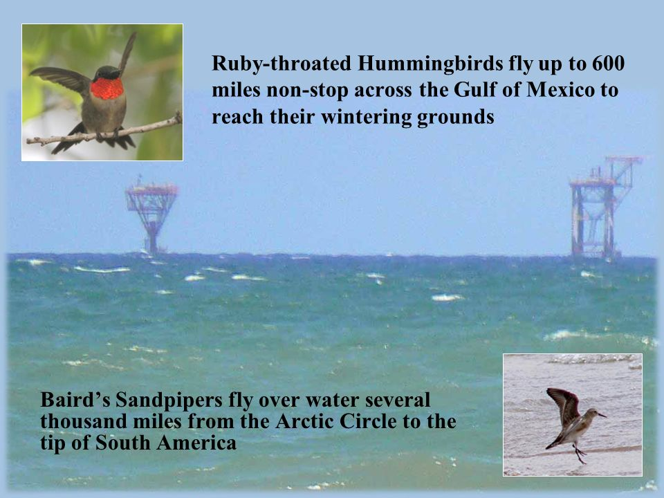 Ruby-throated Hummingbirds fly up to 600 miles non-stop across the Gulf of Mexico to reach their wintering grounds