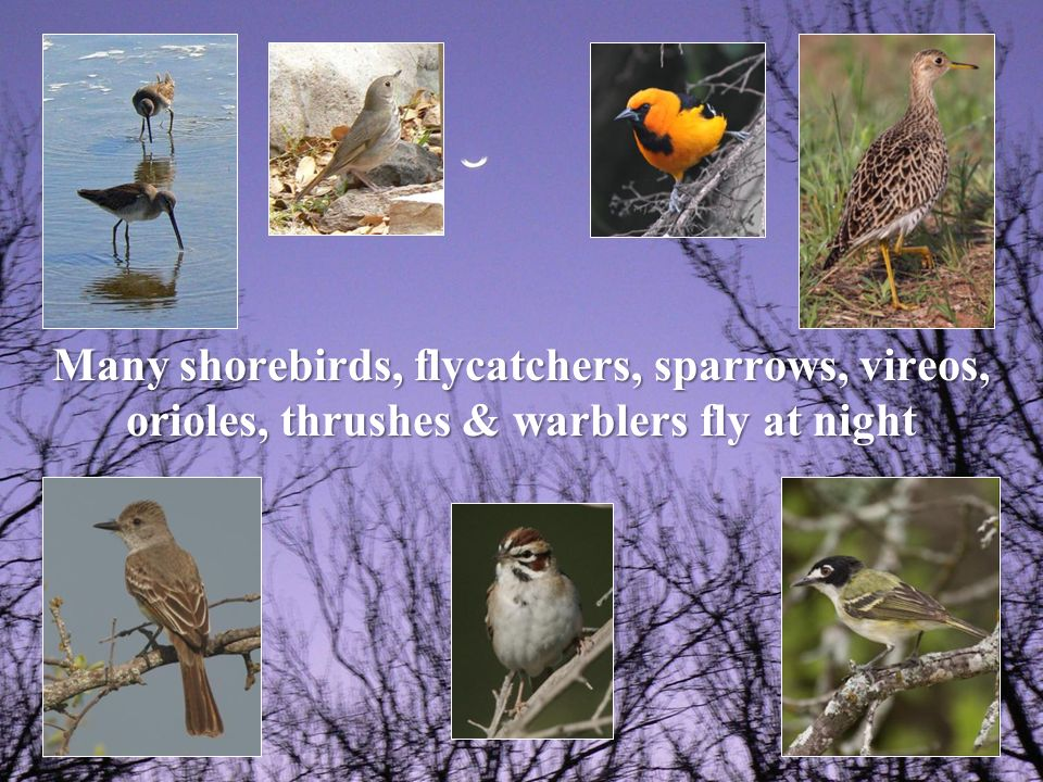 Many shorebirds, flycatchers, sparrows, vireos, orioles, thrushes & warblers fly at night