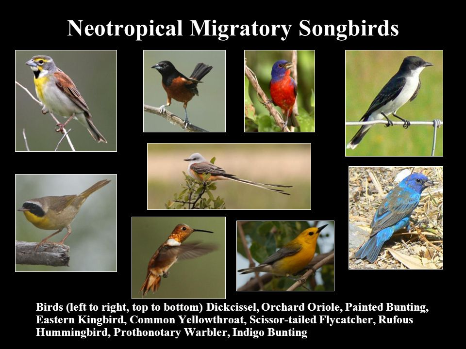 Neotropical Migratory Songbirds