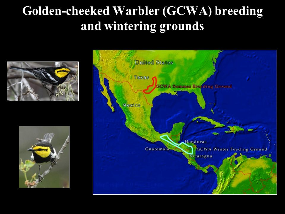 Golden-cheeked Warbler (GCWA) breeding and wintering grounds