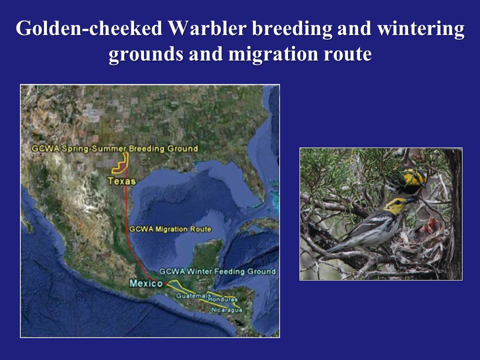 Golden-cheeked Warbler breeding and wintering grounds and migration route