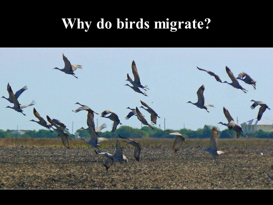 Why do birds migrate