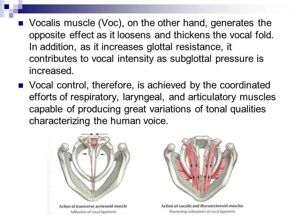 Vocalis muscle (Voc), on the other hand, generates the opposite effect as it loosens and thickens the vocal fold. In addition, as it increases glottal resistance, it contributes to vocal intensity as subglottal pressure is increased.