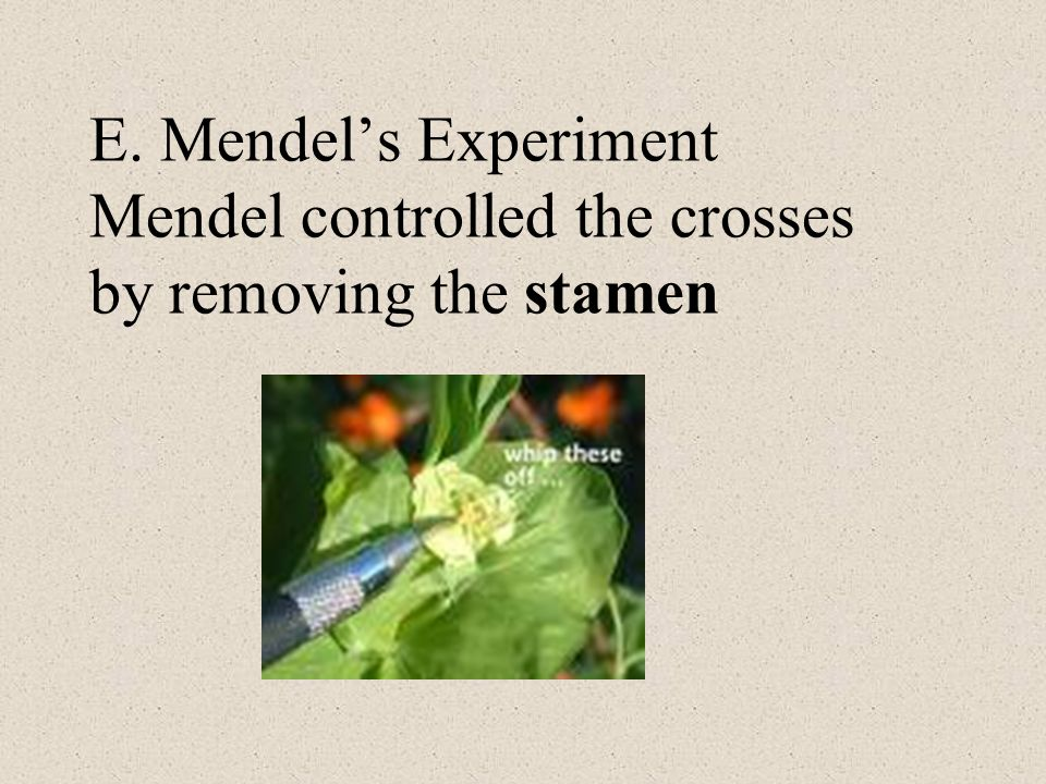 E. Mendel's Experiment Mendel controlled the crosses by removing the stamen