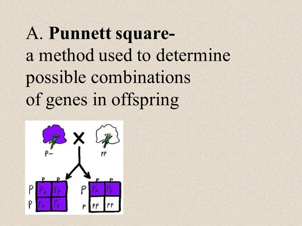 A. Punnett square- a method used to determine possible combinations of genes in offspring