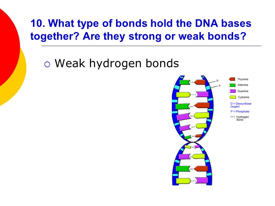 10. What type of bonds hold the DNA bases together