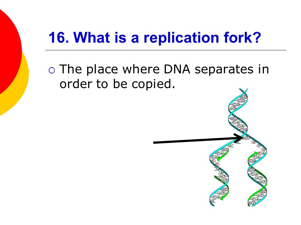 16. What is a replication fork