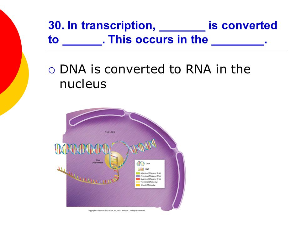 DNA is converted to RNA in the nucleus