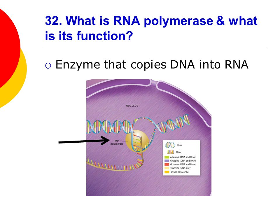 32. What is RNA polymerase & what is its function