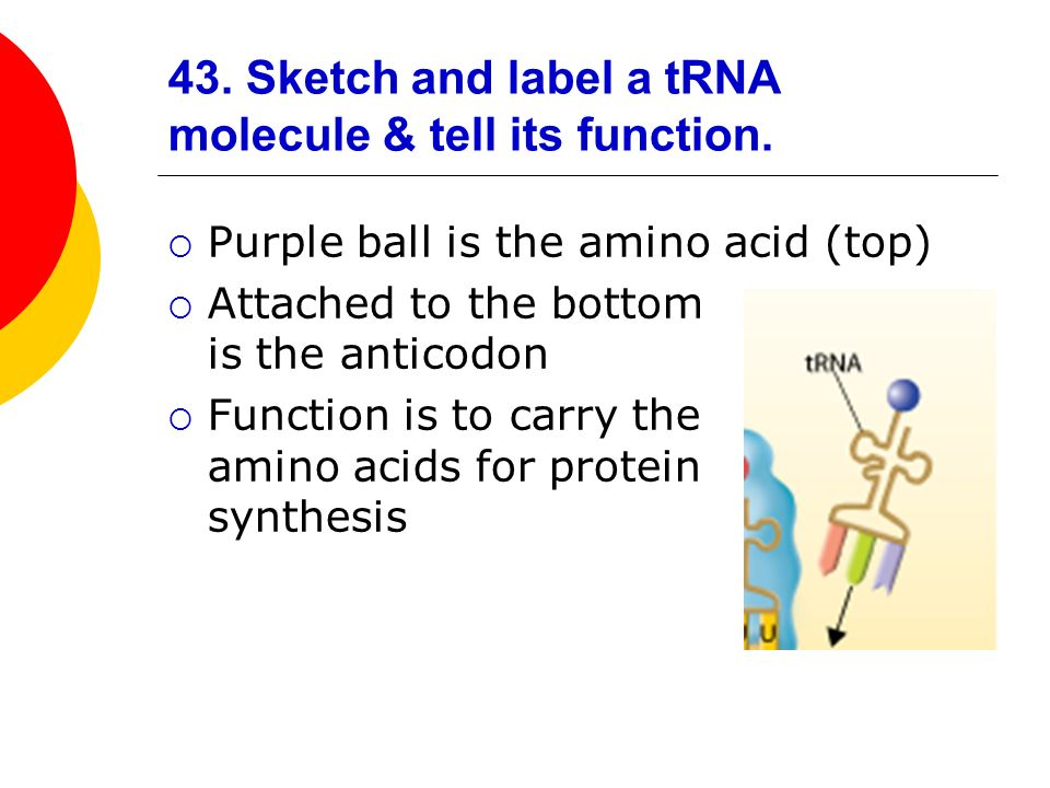 43. Sketch and label a tRNA molecule & tell its function.