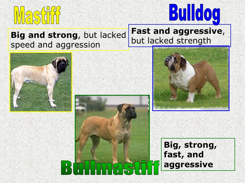 Bulldog Mastiff Bullmastiff Fast and aggressive, but lacked strength