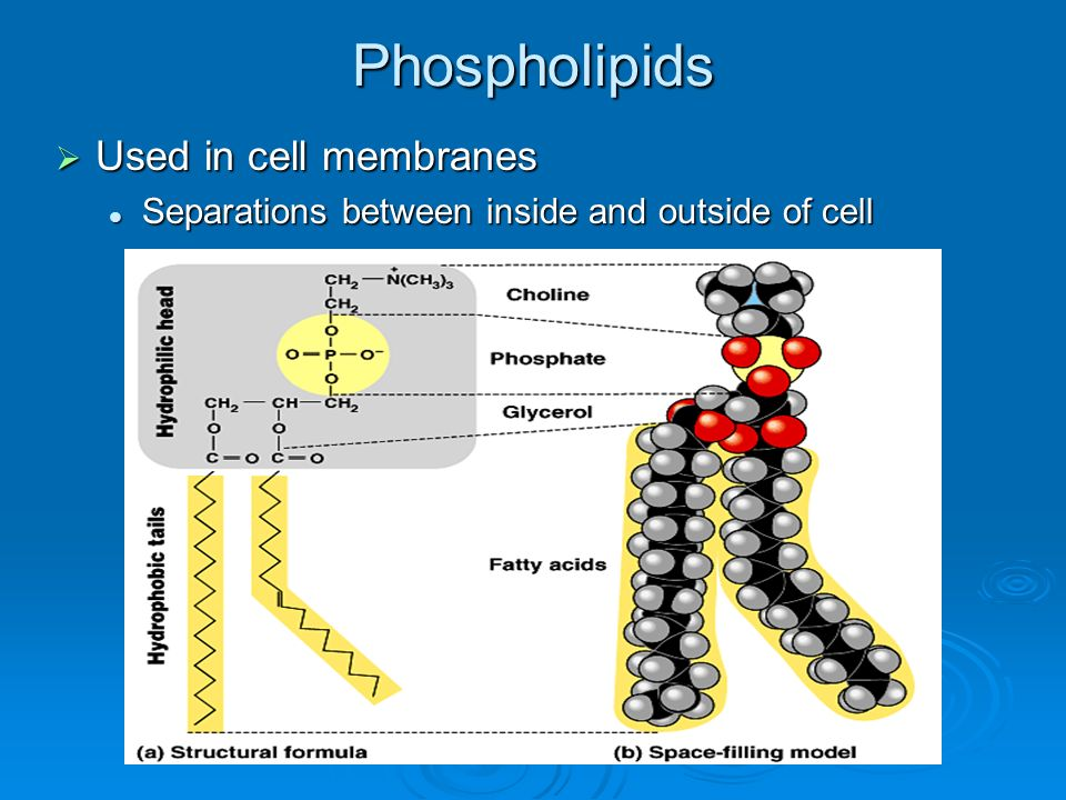 Phospholipids Used in cell membranes