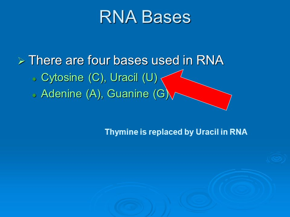 RNA Bases There are four bases used in RNA Cytosine (C), Uracil (U)