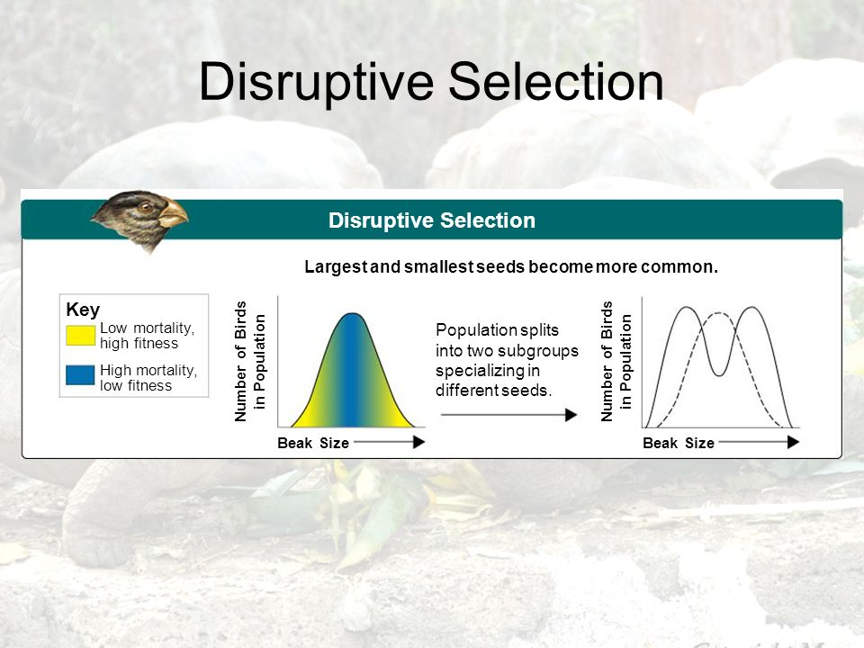 Disruptive Selection Disruptive Selection Key