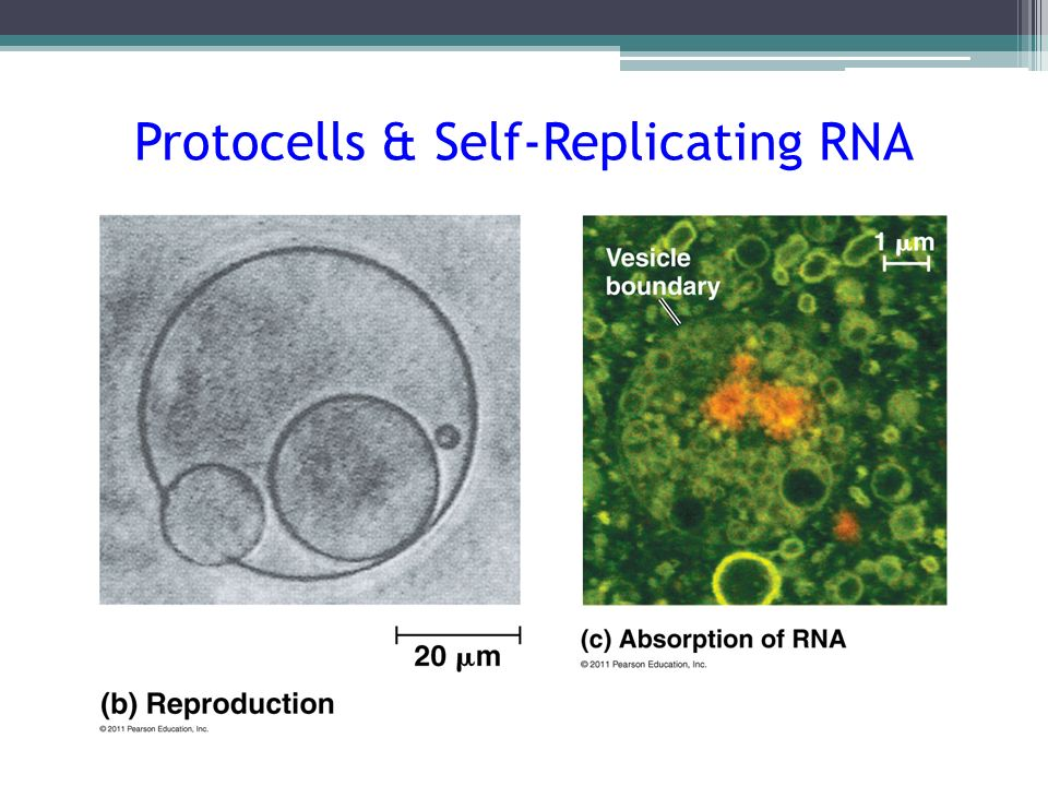 Protocells & Self-Replicating RNA