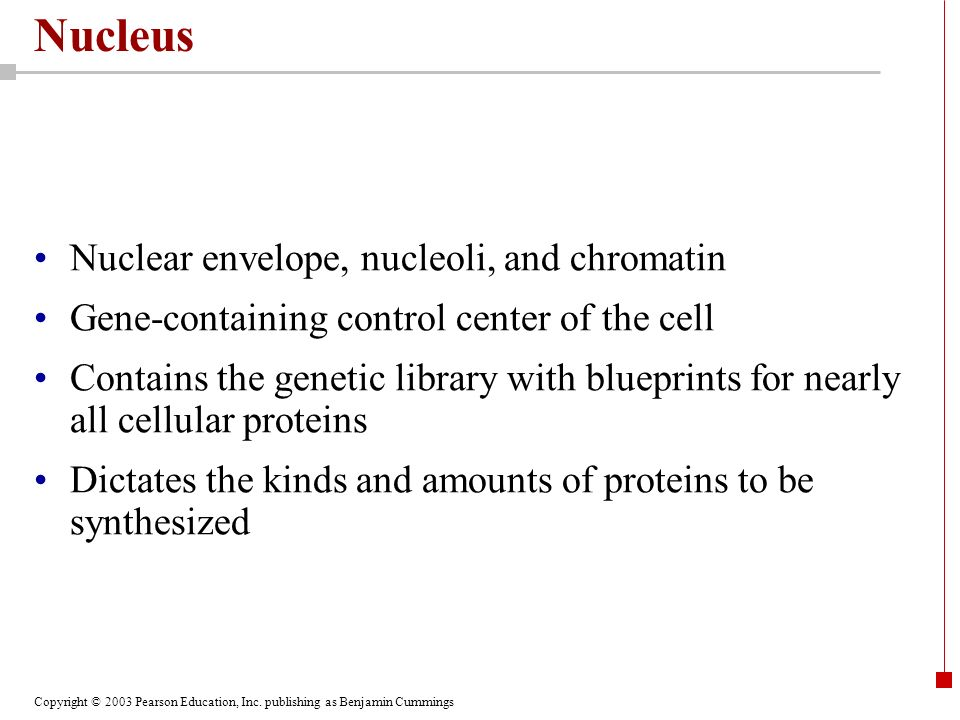 Nucleus Nuclear envelope, nucleoli, and chromatin