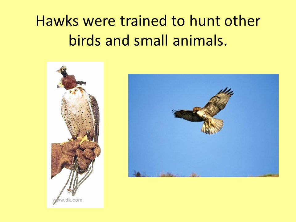 Hawks were trained to hunt other birds and small animals.