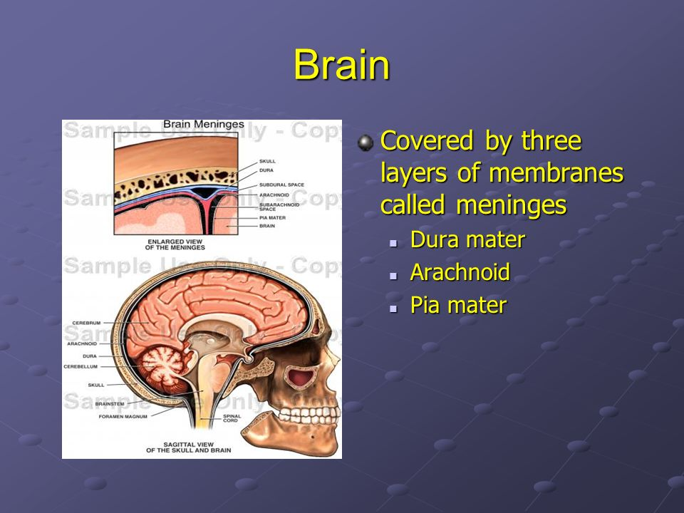 Brain Covered by three layers of membranes called meninges Dura mater
