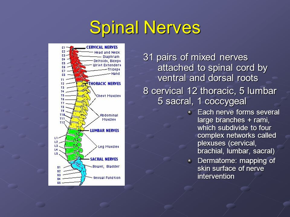 Spinal Nerves 31 pairs of mixed nerves attached to spinal cord by ventral and dorsal roots. 8 cervical 12 thoracic, 5 lumbar 5 sacral, 1 coccygeal.