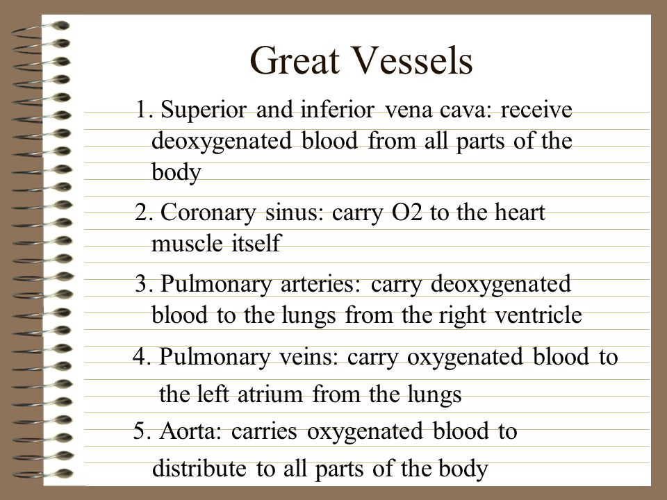Great Vessels 1. Superior and inferior vena cava: receive deoxygenated blood from all parts of the body.