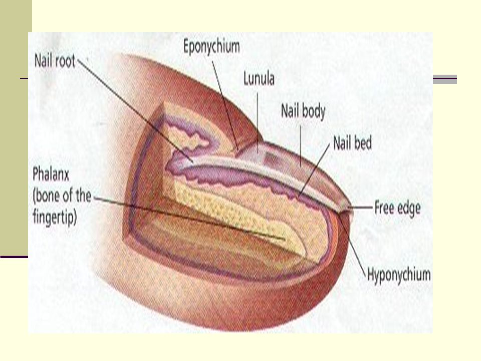Nail = unguis – each nail consist of: