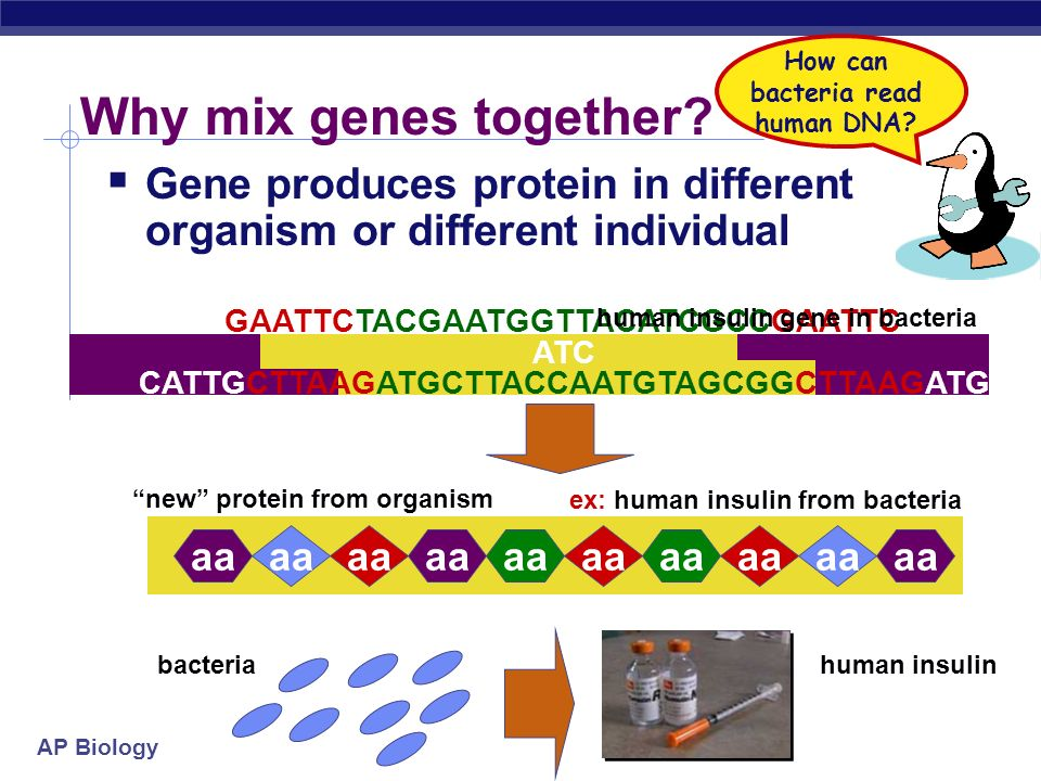 How can bacteria read human DNA human insulin gene in bacteria